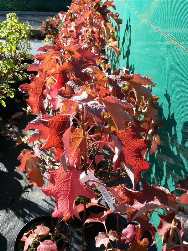 Hydrangea quercifolia picture 2