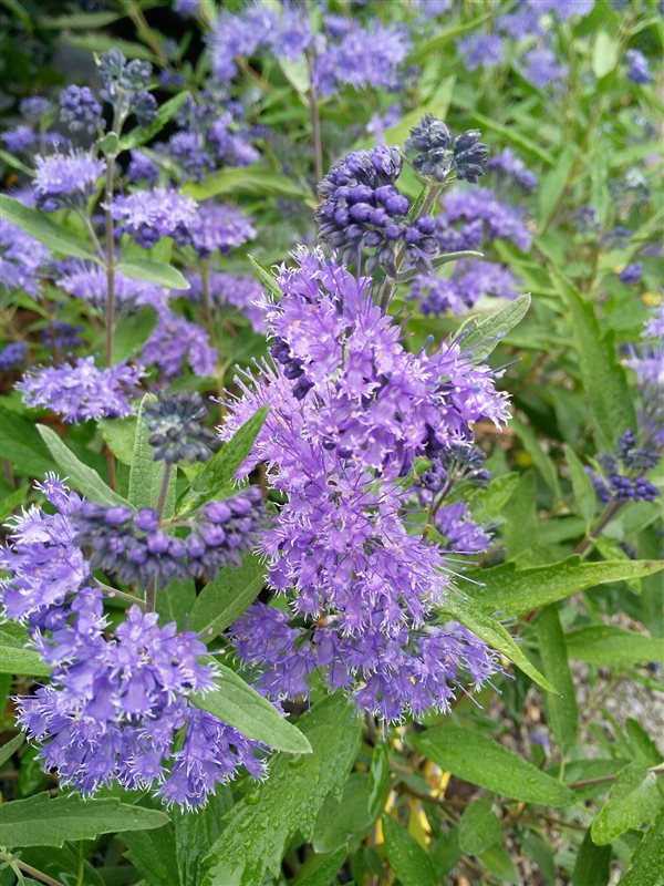 Caryopteris cland. 'Dark Knight' picture 4