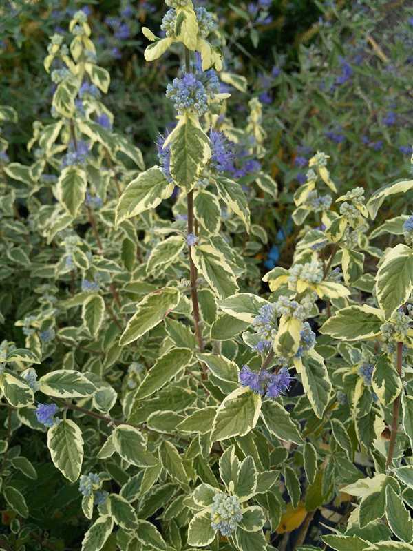 Caryopteris cland. 'White Surprise' picture 2