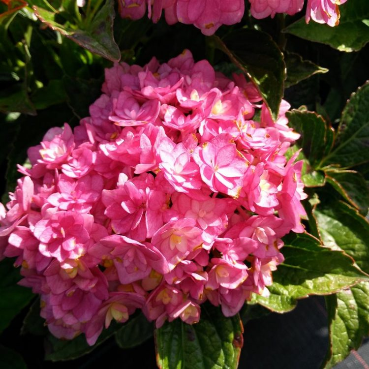 Hydrangea m. Together picture 3