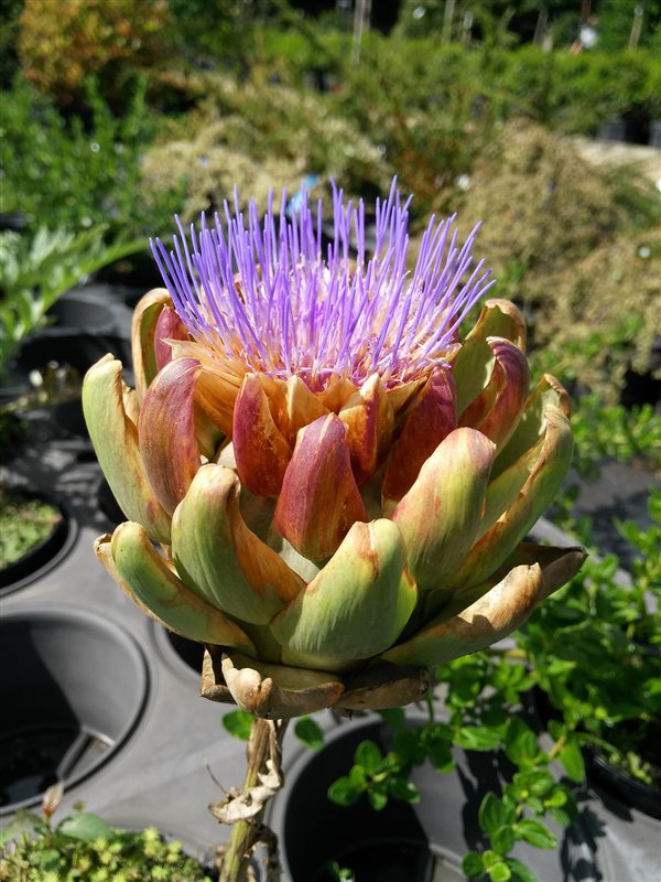 Cynara scolymus picture 2