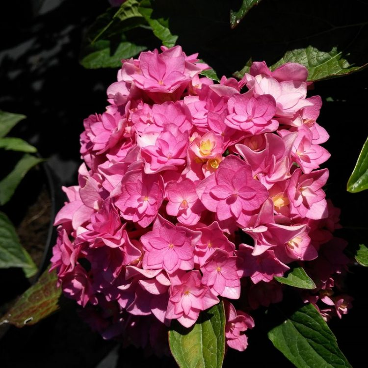 Hydrangea m. Together picture 2