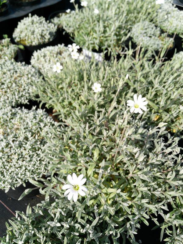 Cerastium tomentosum picture 4