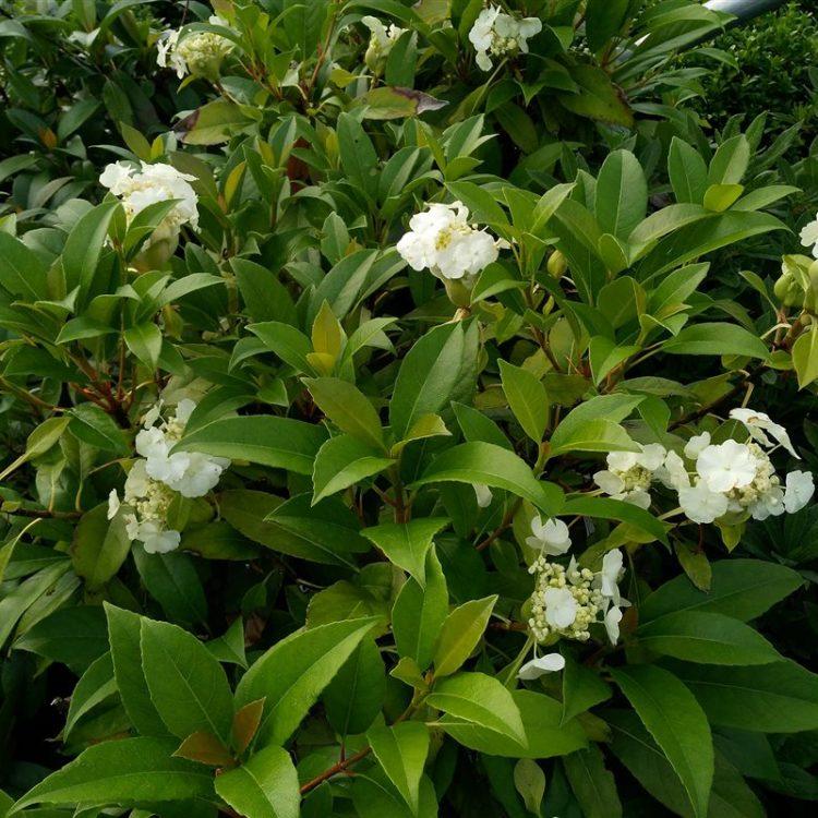 Hydrangea seemanii picture 2