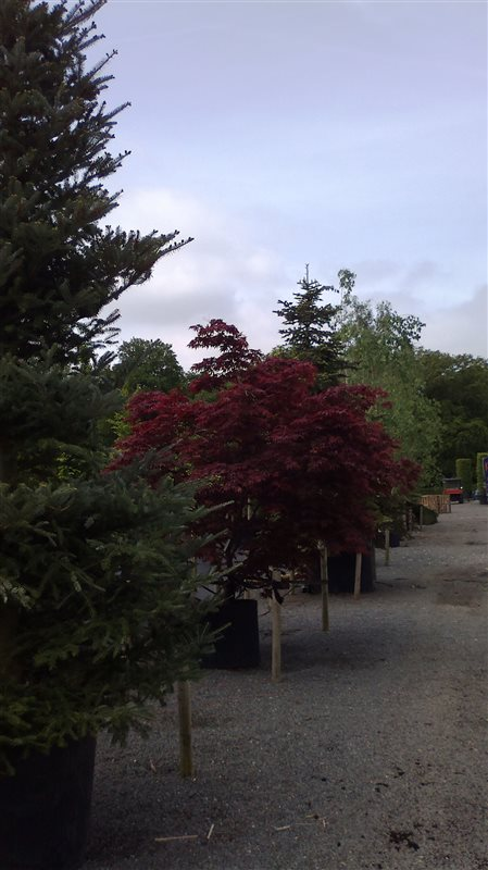 Acer pal. 'Bloodgood' picture 2