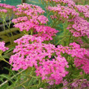 Achillea m. 'Lilac Beauty'