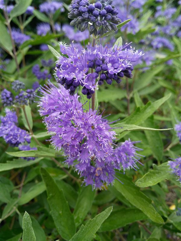 Caryopteris cland. 'Dark Knight' picture 5