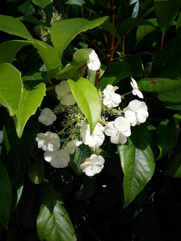 Hydrangea seemanii picture 3