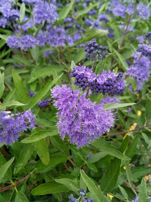 Caryopteris cland. 'Dark Knight' picture 3