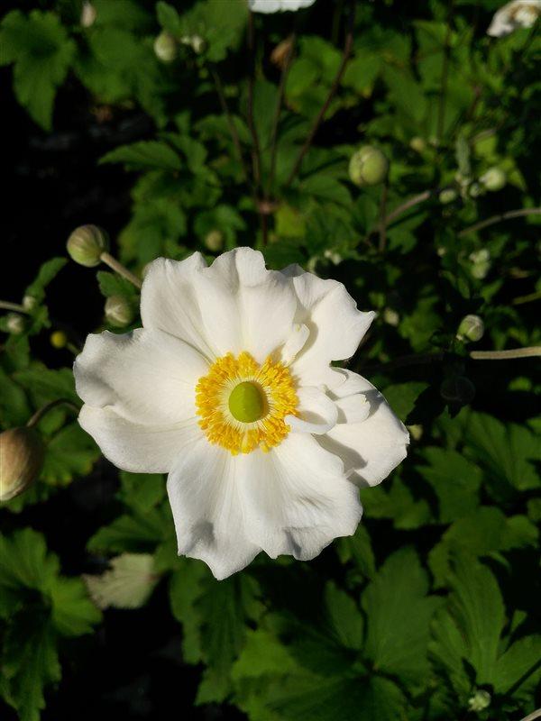 Anemone hyb. 'Honorine Jobert' picture 3