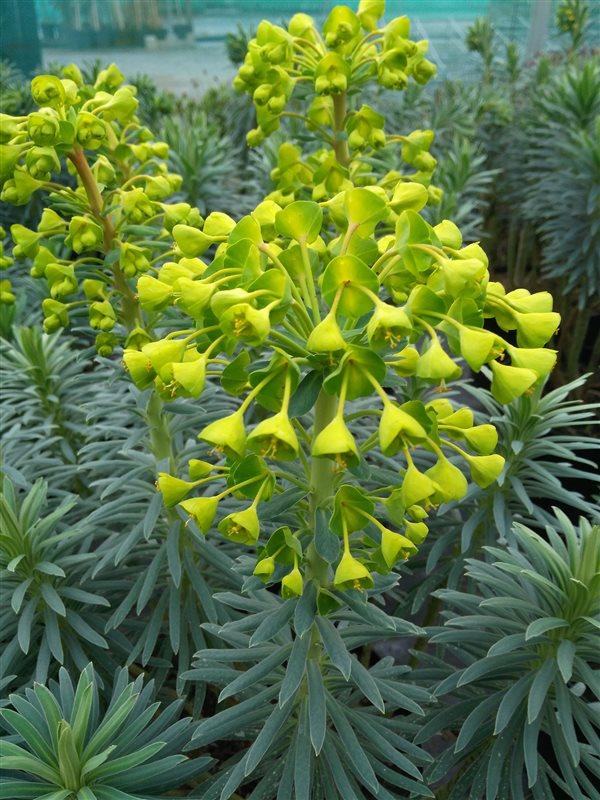 Euphorbia characias Wulfenii picture 2