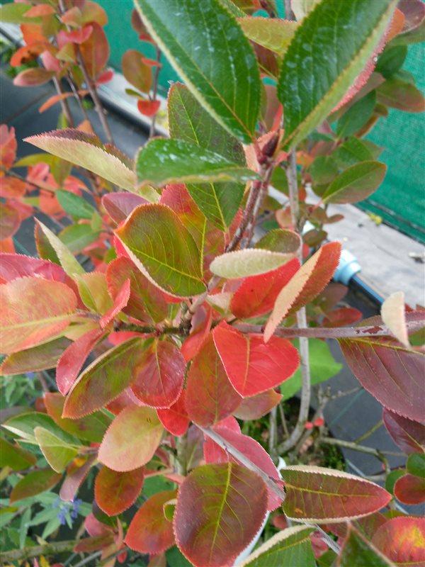 Aronia melanocarpa picture 3