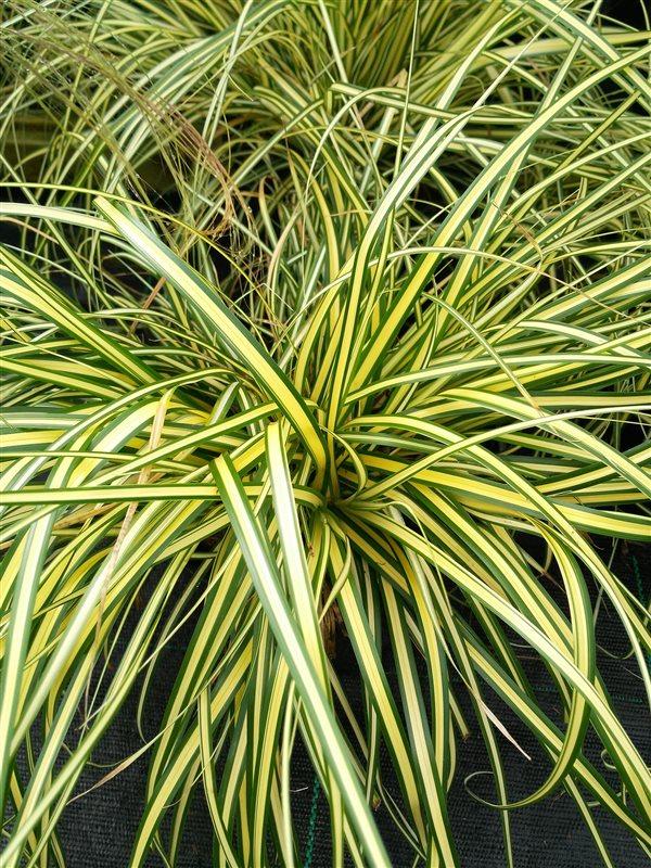 Carex oshim. 'Evergold'