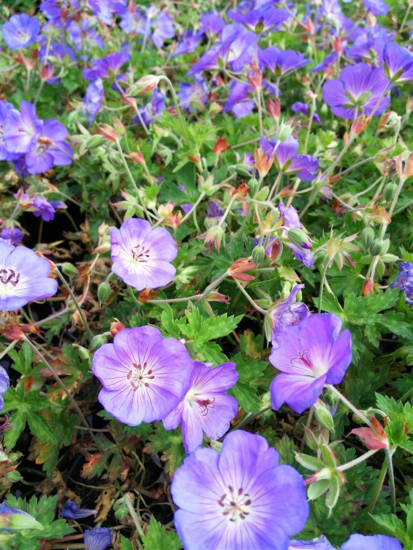 Geranium 'Azure Rush' picture 2