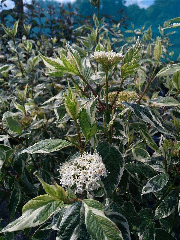 Cornus alba 'Sibirica Variegata' picture 3