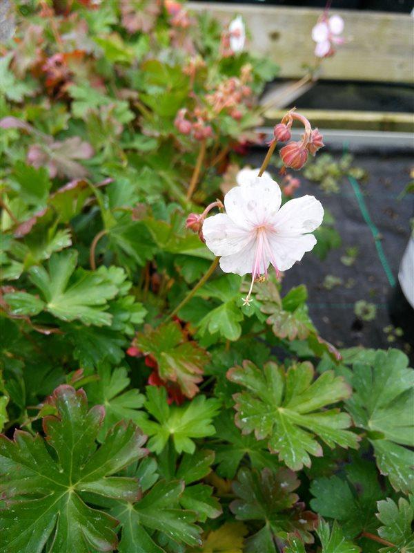 Geranium cantabrig. 'Biokovo' picture 2