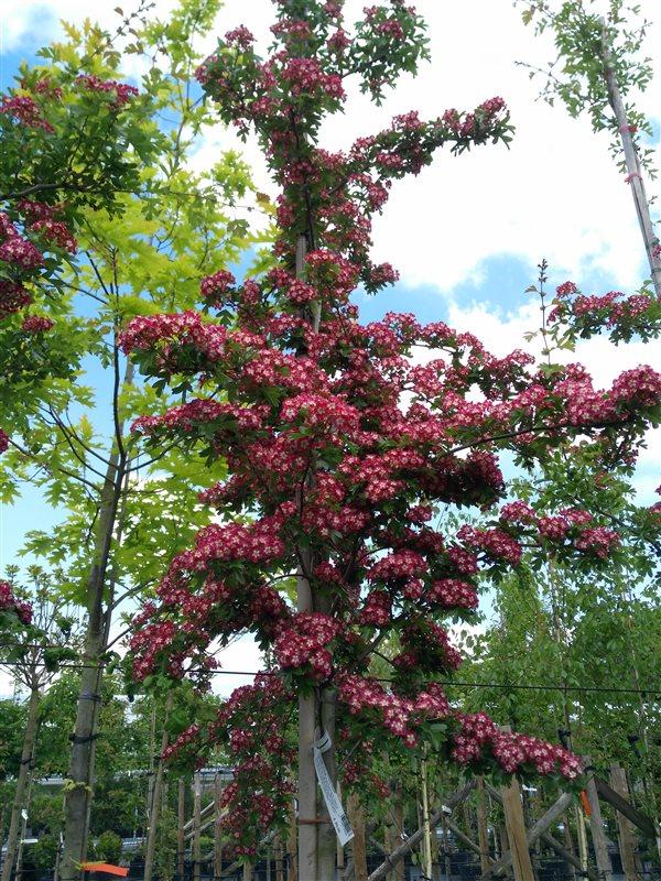 Crataegus laev. 'Crimson Cloud' picture 3