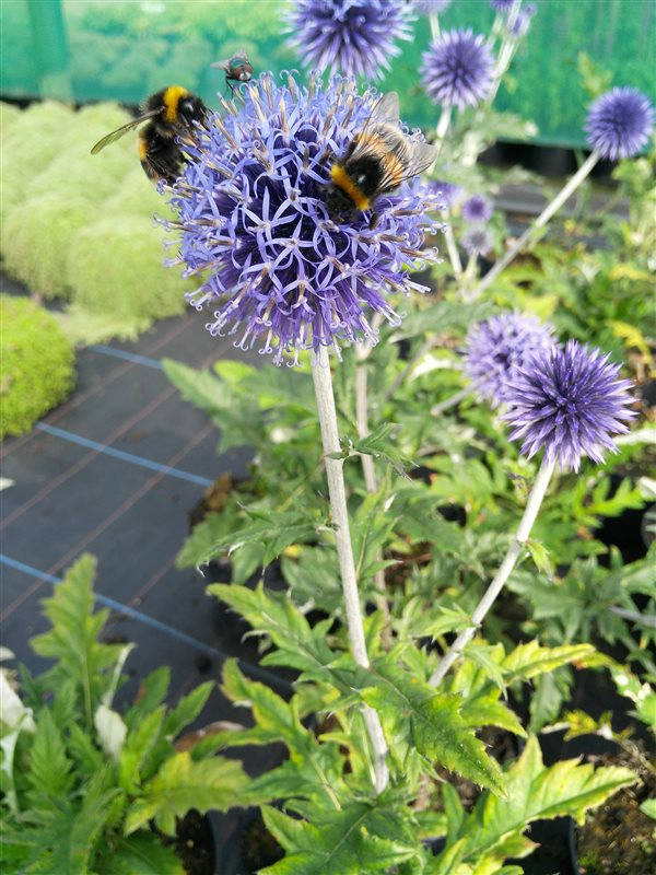 Echinops ritro Veitch's Blue picture 4