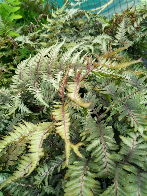 Athyrium niponicum Metallicum picture 2