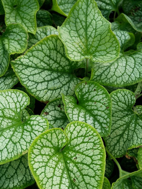 Brunnera macr. 'Jack Frost' picture 2