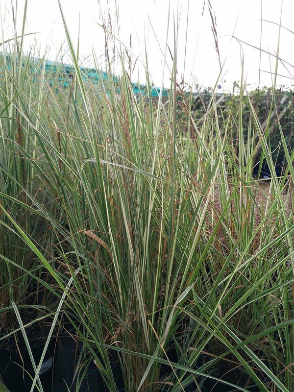 Calamagrostis acut. 'Overdam'
