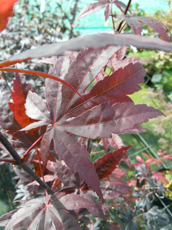 Acer pal. 'Bloodgood' picture 3