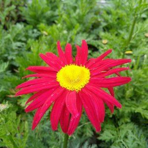 Tanacetum (C) 'Robinson's Red'