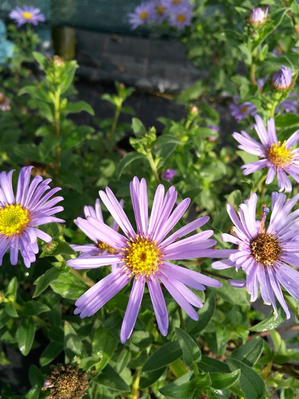 Aster frikartii 'Monch' picture 2