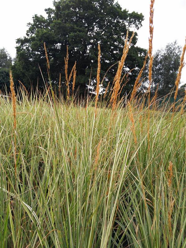 Calamagrostis acut. 'Overdam' picture 2