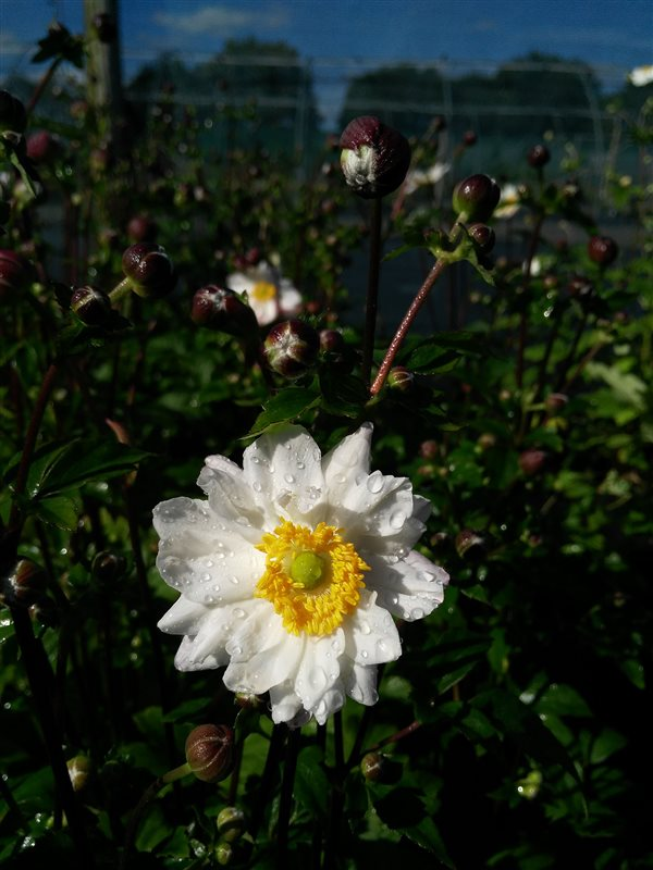 Anemone hyb. 'Whirlwind' picture 2