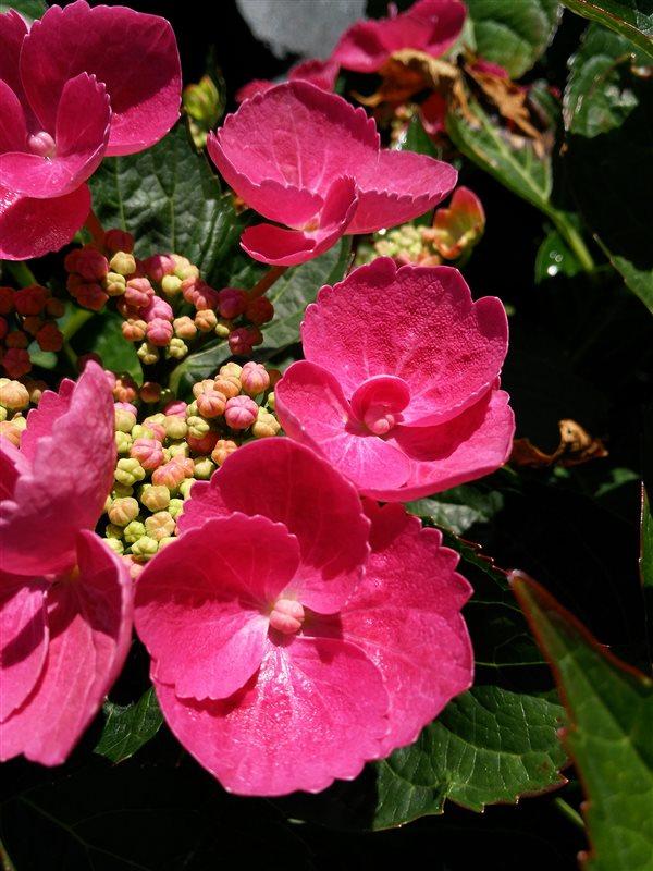 Hydrangea macro. 'Teller Red' picture 2