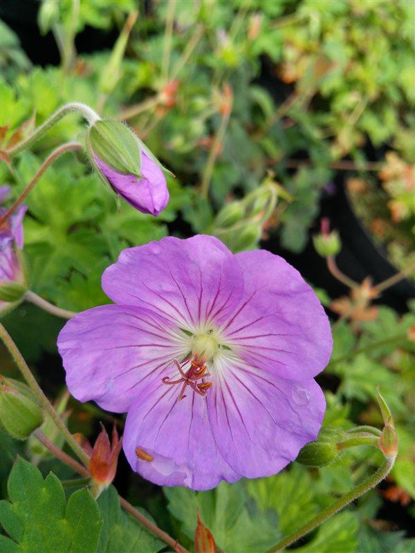 Geranium 'Azure Rush' picture 3