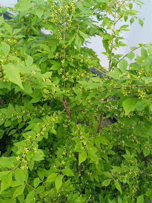 Euonymus alatus picture 4