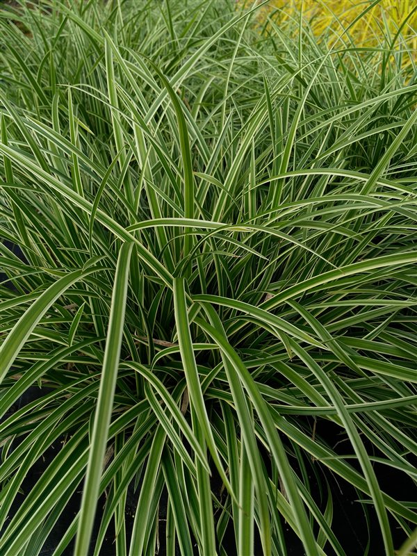 Carex morrowii 'Ice Dance' picture 2