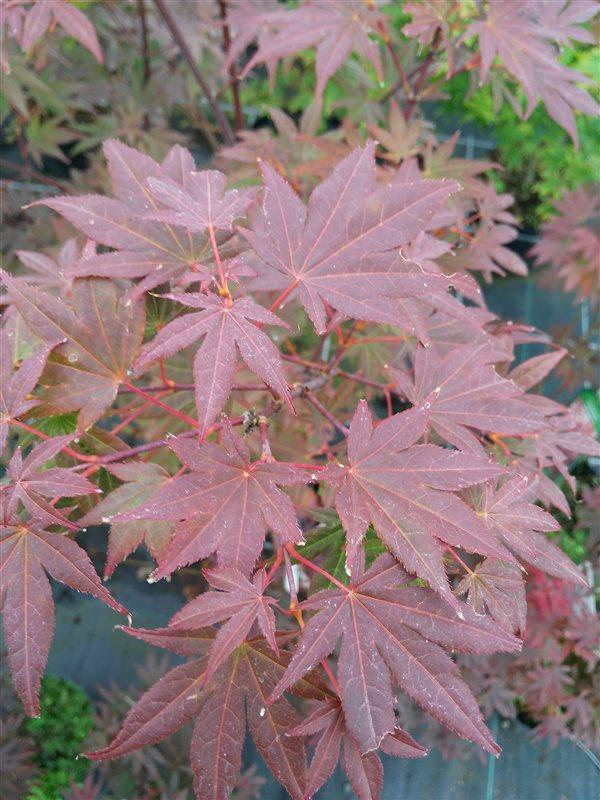 Acer pal. 'Atropurpureum'