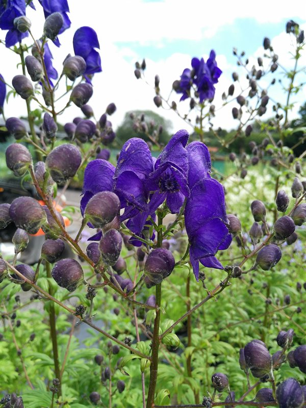 Aconitum henryi 'Spark's Variety' picture 2