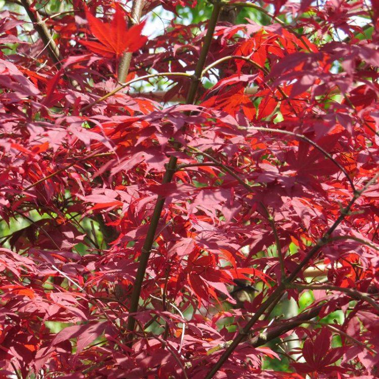 Acer pal. 'Atropurpureum' picture 2