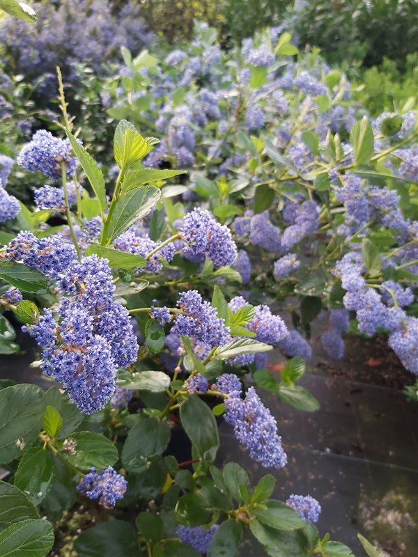 Ceanothus arboreus Trewithen Blue picture 3