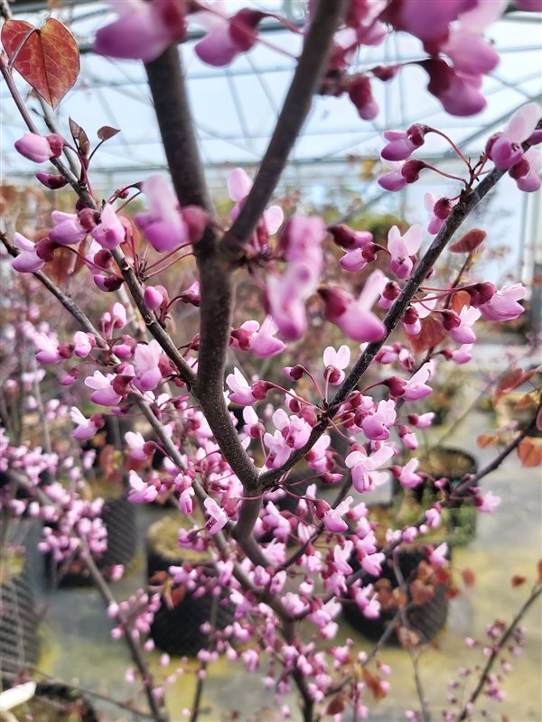 Cercis can. 'Forest Pansy'