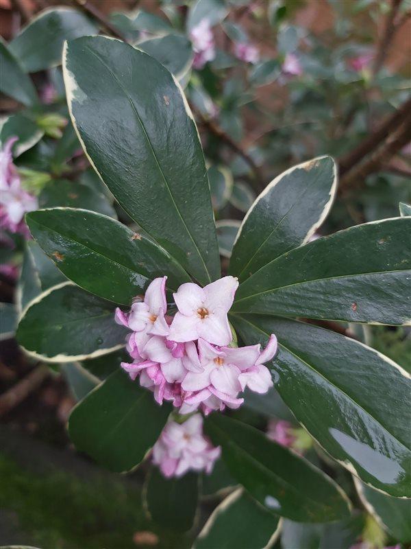 Daphne odora Aureomarginata picture 2