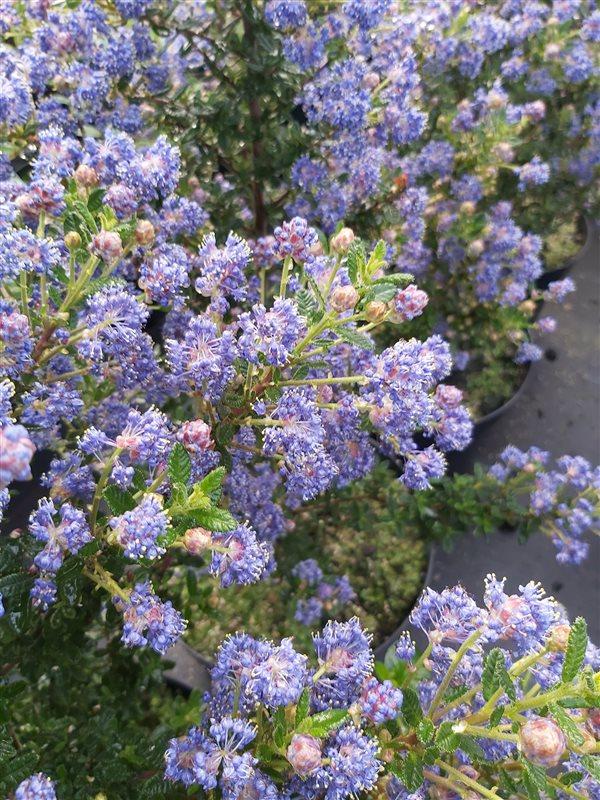 Ceanothus 'Puget Blue' picture 5