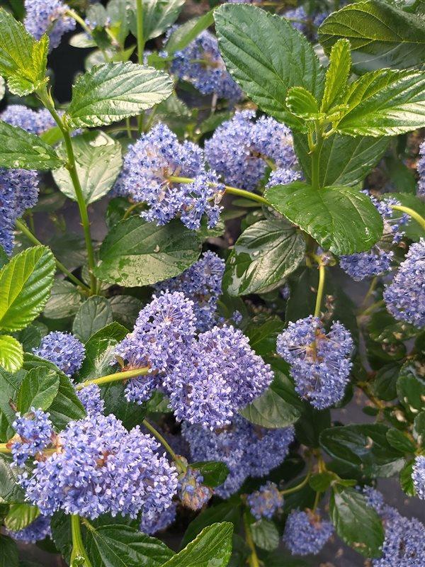 Ceanothus arboreus Trewithen Blue picture 2
