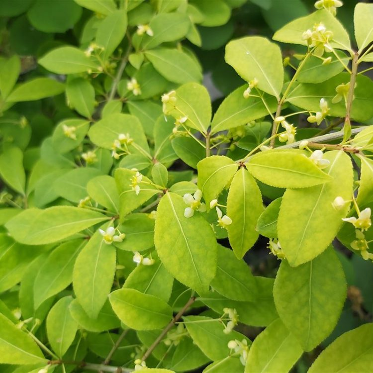 Euonymus alat. 'Compactus' picture 3