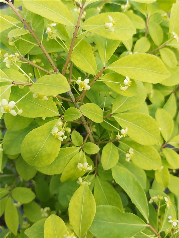 Euonymus alat. 'Compactus' picture 2