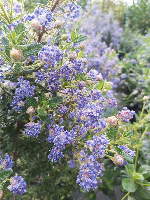 Ceanothus 'Puget Blue' picture 4