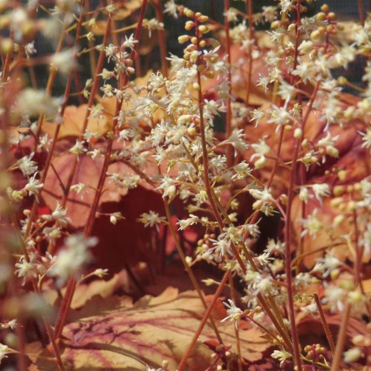 Heucherella Generic Sweet Tea picture 2