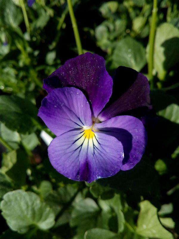 Viola 'Midnight' (R) picture 3