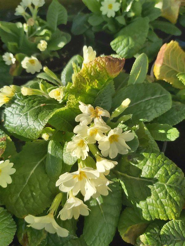 Primula vulgaris picture 2