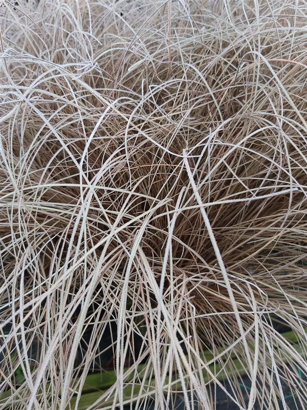Carex comans 'Bronze Form' picture 2