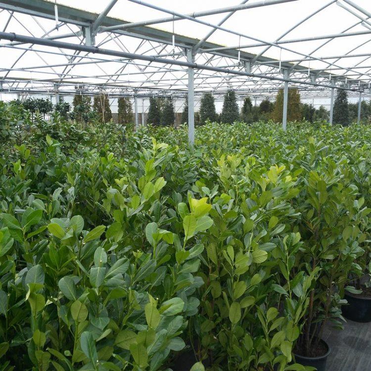 Prunus l. 'Rotundifolia' picture 5